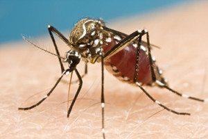 Aedes-myg er smittebæreren af zikavirus, som dog også kan smitte fra menneske til menneske.