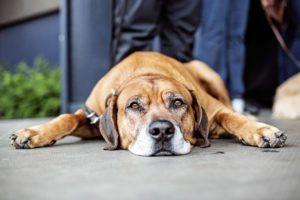 Hundens Dag_Tivoli_2015_Claudia Dons (13)