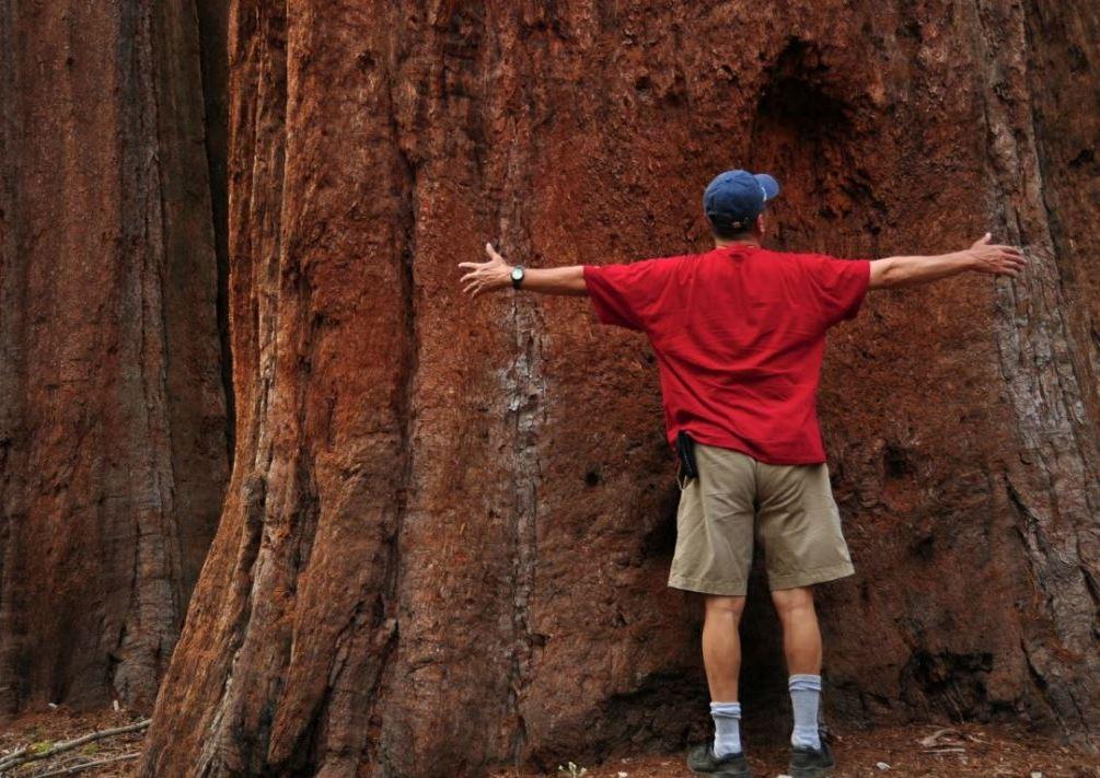Et af de enorme Sequoia-træer i Mariposa Grove i nationalparken Yosemite.