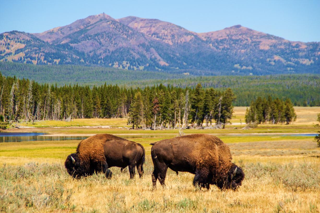 USA – her er det nationalparken Yellowstone, Thailand, Indonesien, Australien og New Zealand er de fem mest populære rejsemål blandt kunderne hos Jysk Rejsebureau. Foto: Jysk Rejsebureau.