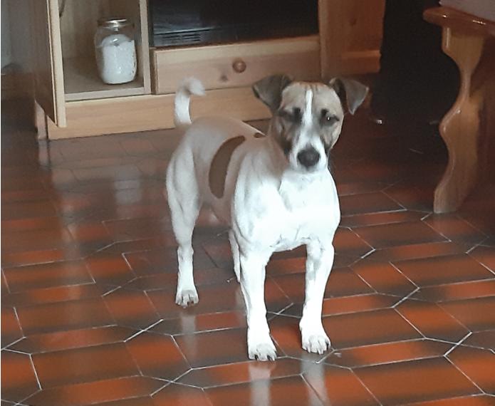 Hunden Jack, hvis ejer nu har krævet 250 euro i kompensation fra Danish Air Transport og henvist til gældende EU-regler. Privatfoto.