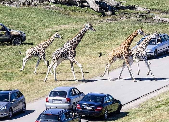 Knuthenborg Safaripark bruges som noget af baggrunden for at tiltrække flere danske turister til Lolland Falster. Foto: Knuthenborg Safaripark via Visit Lolland Falster.