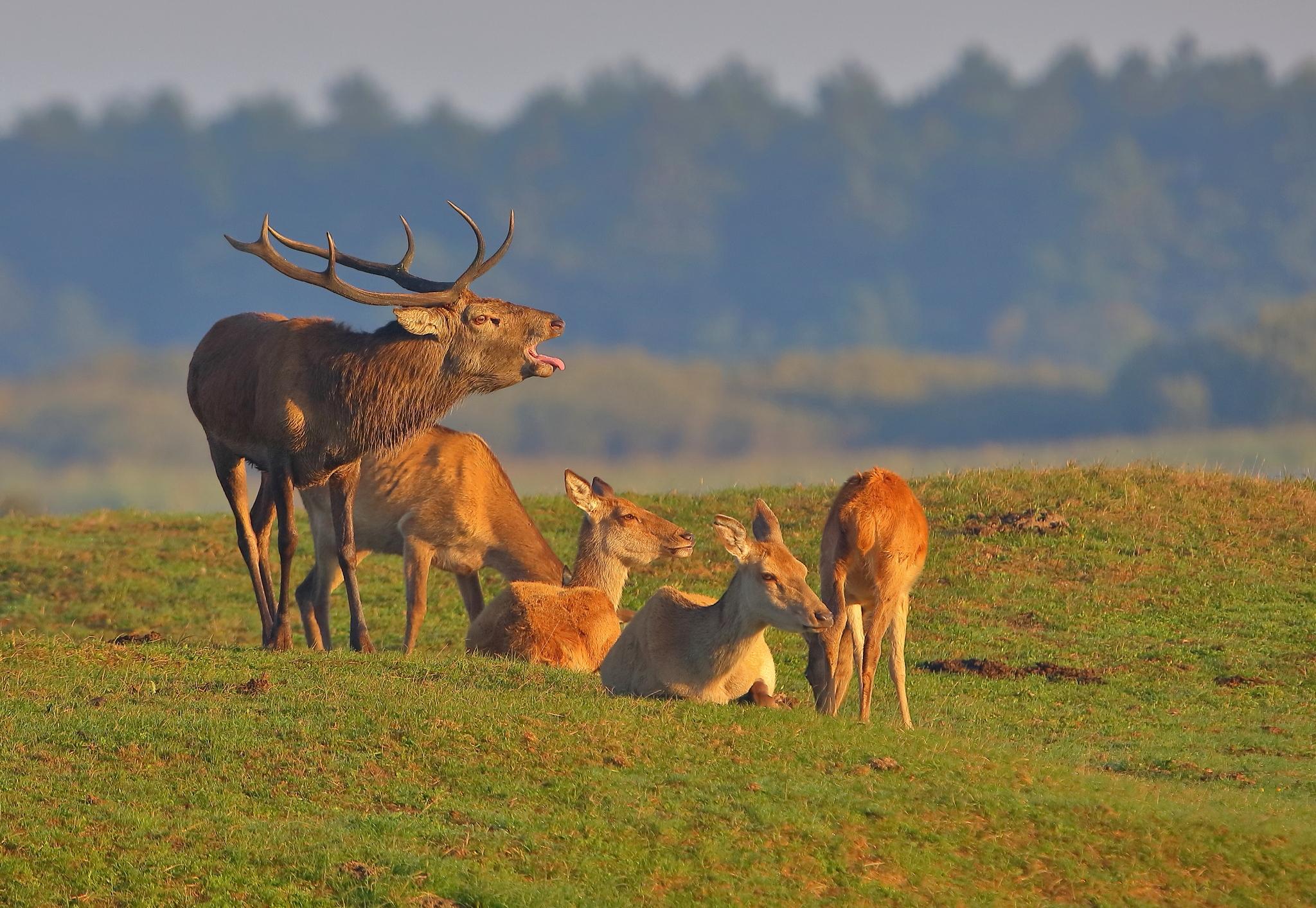 Naturstyrelsen har udnævnt The Big Five blandt dyr i Danmark, herunder kronhjorten, der kan ses ved Oksbøl Krondyrreservat. Rejsebureau med speciale i safarirejser har rundtur i Danmark for at se dyrene. Foto Jan Tandrup Petersen via Safari And Beyond.