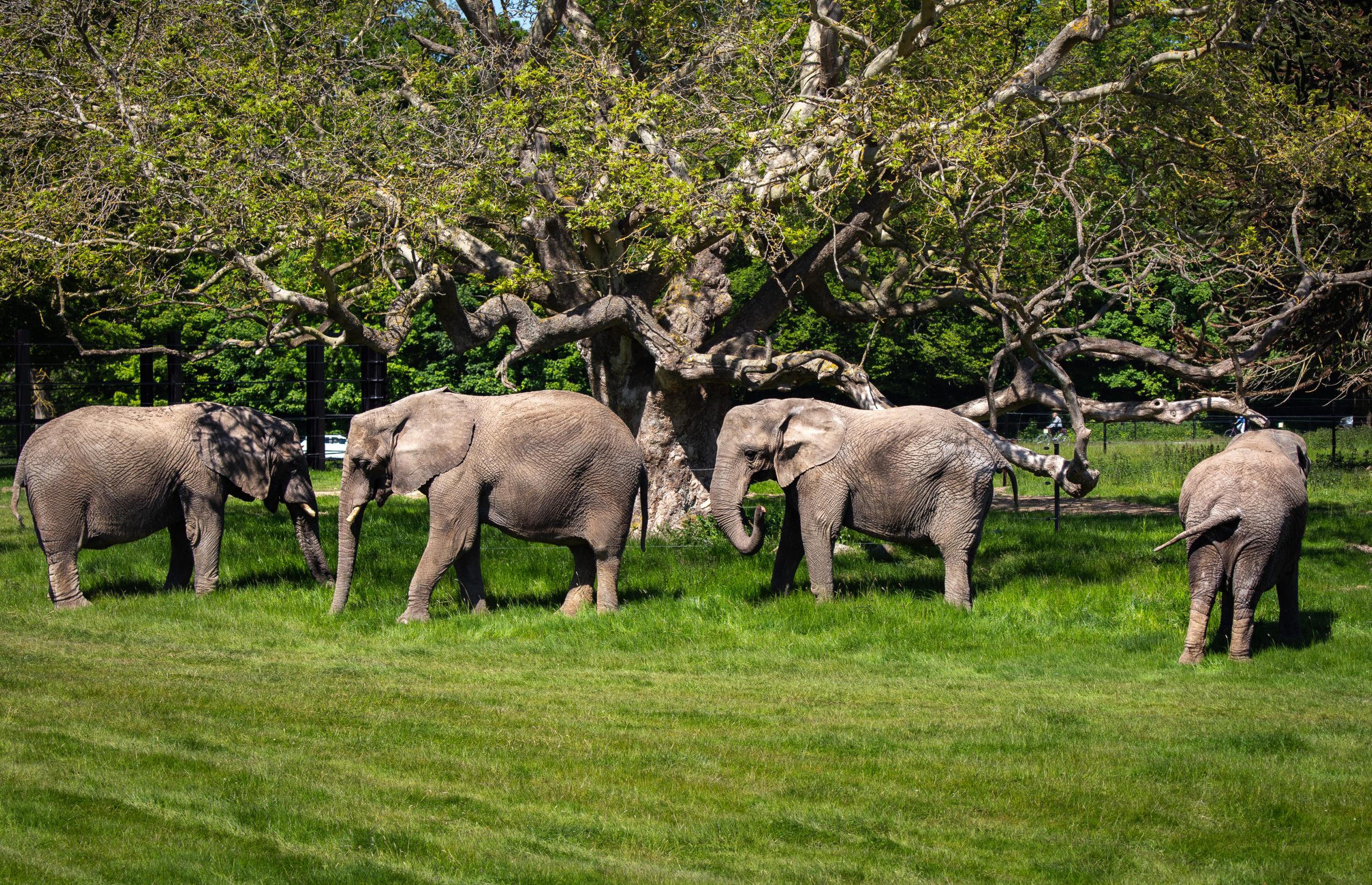 Knuthenborg Safaripark var sidste år den mest besøgte attraktion i destinationsselskabet VisitLolland-Falster. Knuthenborg var Danmarks 7. mest besøgte attraktion med en vækst på 32 procent flere besøg i forhold til 2019, blandt andet som følge af tilkomsten af disse fire pensionerede cirkuselefanter. I alt havde parken 410.000 besøgende, et plus på 100.000. PR-foto: Knuthenborg Safaripark.