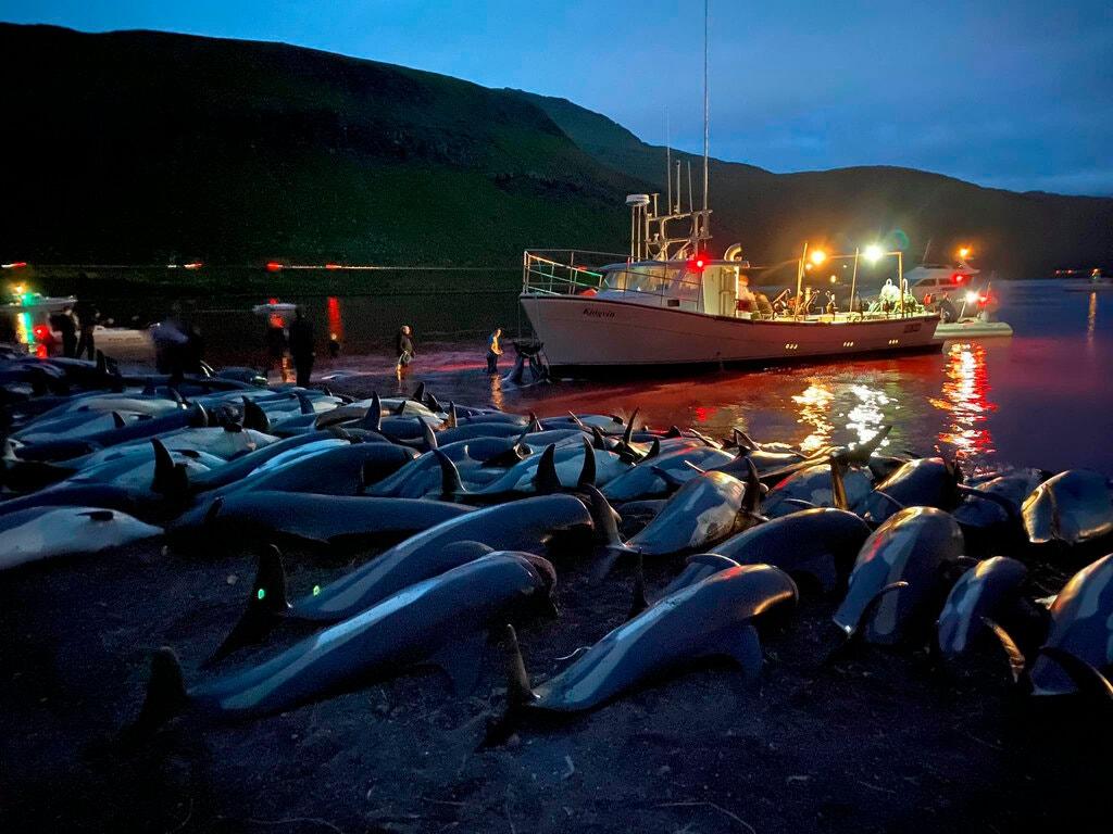 """Miljøorganisationen Sea Shepherd har lagt mange billeder og videoer op fra """"Bloody Sunday"""" med slagtningen af de over 1.400 delfiner på Færøerne. Foto: Sea Shepherd Conservation Society."""
